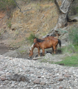 Brumbies at Suggan Buggan